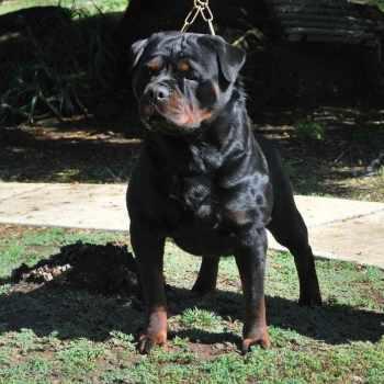 Best Rottweiler Breeder