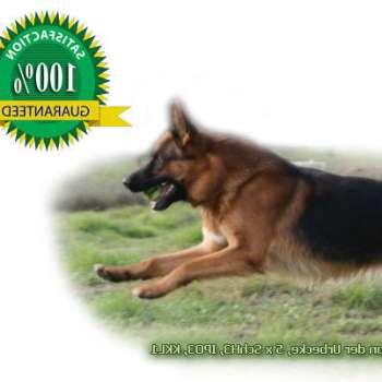 Best Vitamins For German Shepherd Puppies