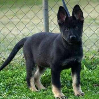 Bi Color German Shepherd Puppies