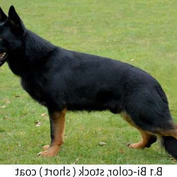 Bicolor German Shepherd For Sale