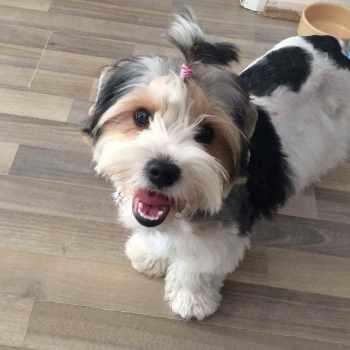 Biewer Terrier Rescue