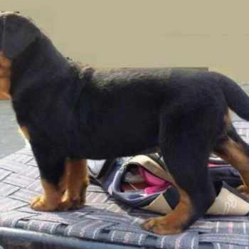 Big Head Rottweiler Puppies For Sale