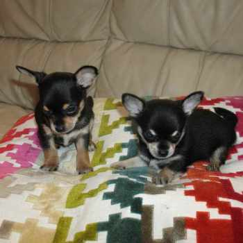 Black And Tan Chihuahua Puppies For Sale