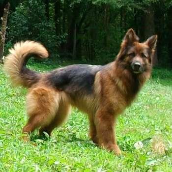 Black And Tan Long Haired German Shepherd