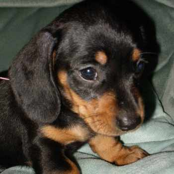 Black And Tan Mini Dachshund Puppies For Sale