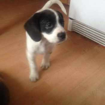 Black And White Beagle For Sale