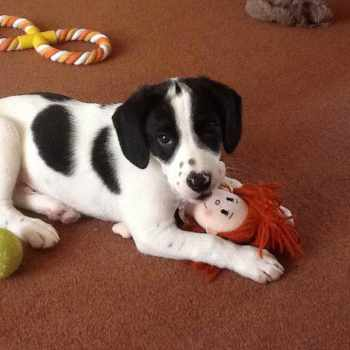 Black And White Beagle Puppies
