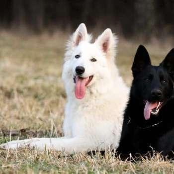 Black And White German Shepherd