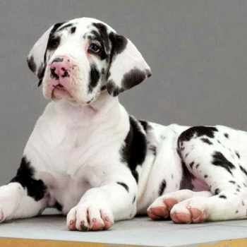 Black And White Great Dane Puppies