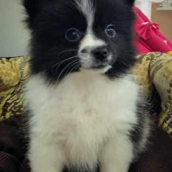 Black And White Pomeranian Puppy