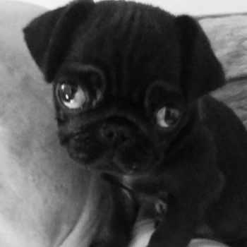 Black Baby Pug For Sale