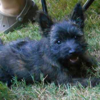 Black Cairn Terrier Puppies For Sale