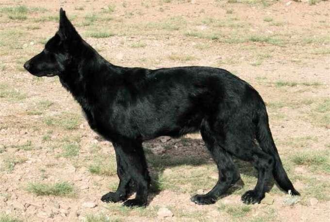Black Female German Shepherd For Sale