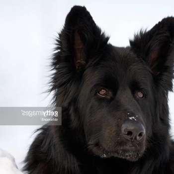 Black German Shepherd Calendar
