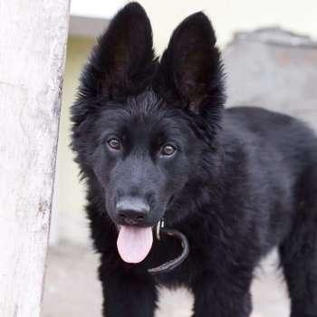 Black German Shepherd Price