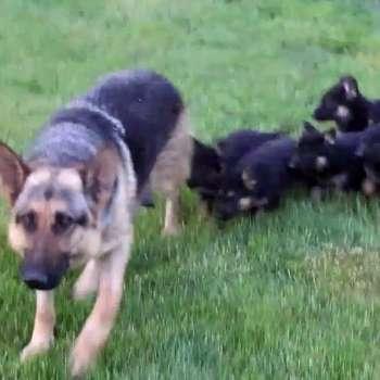 Black German Shepherd Puppies For Sale In Georgia