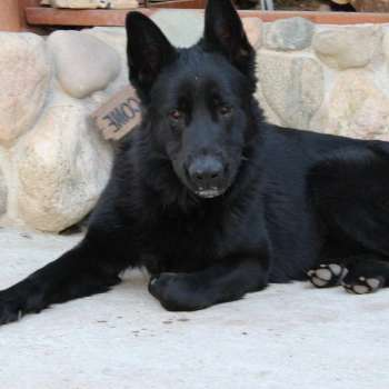 Black German Shepherd Puppies For Sale In Ny
