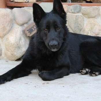 Black German Shepherd Puppies Michigan