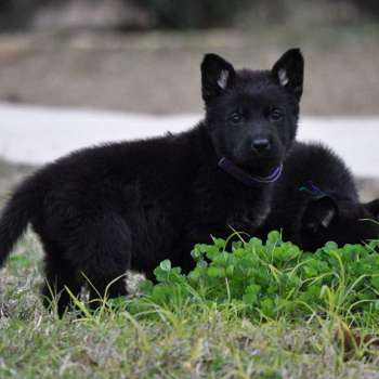 Black German Shepherd Pups For Sale