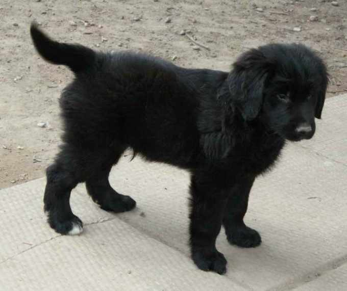 Black Golden Retriever Puppies For Sale