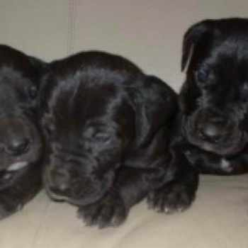 Black Great Dane Puppies For Sale