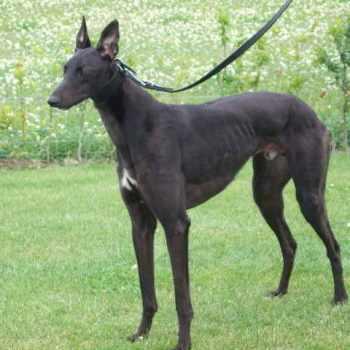 Black Greyhound Dog