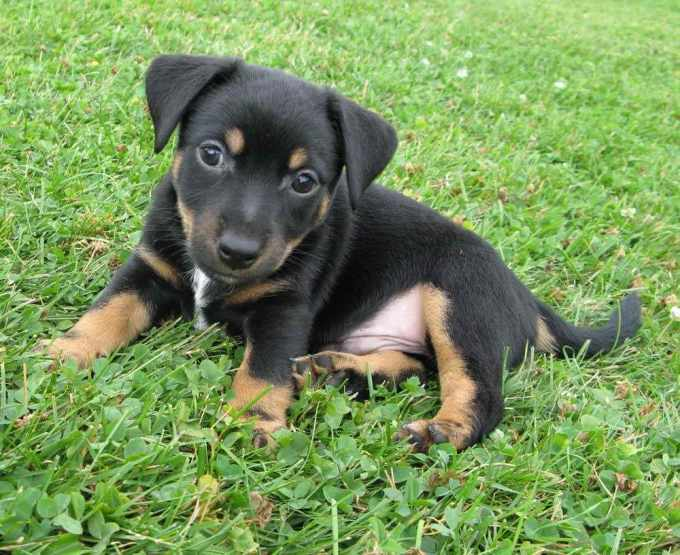 Black Jack Russell Terrier Puppies