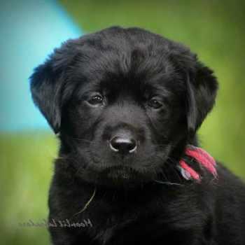 Black Labrador Retriever Puppies For Sale Near Me