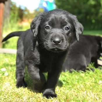 Black Labrador Retriever Puppies For Sale