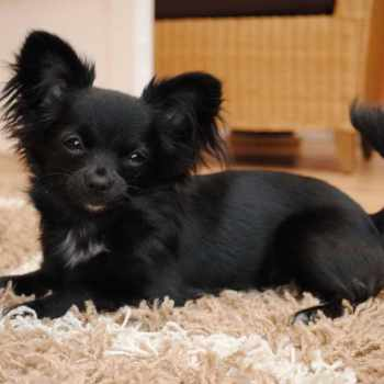 Black Long Haired Chihuahua