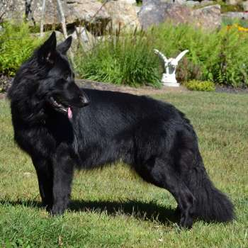 Black Long Haired German Shepherd