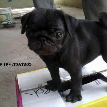 Black Pug Price