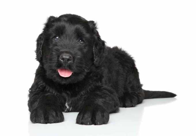 Black Russian Terrier Adoption