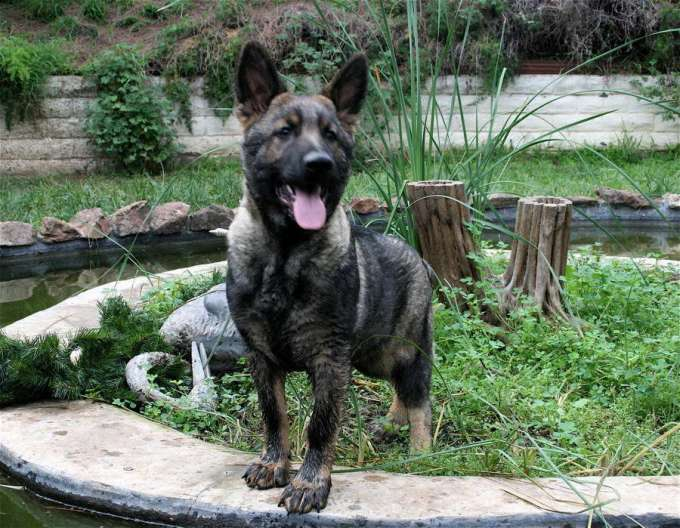 Black Sable German Shepherd For Sale
