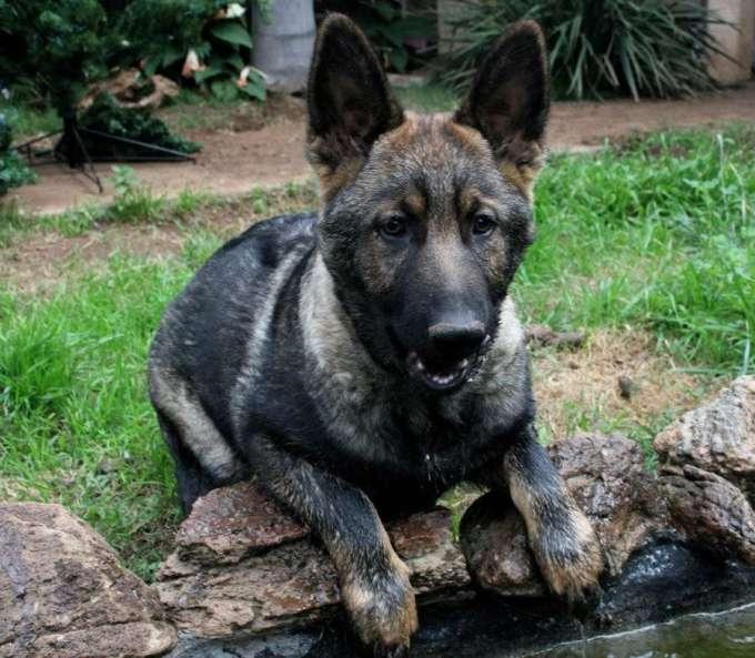 Black Sable German Shepherd Puppies For Sale