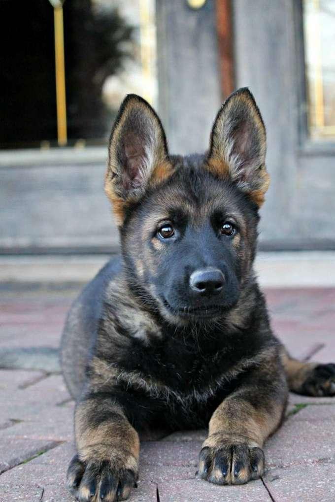 Black Sable German Shepherd Puppies
