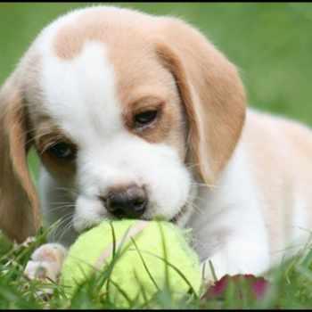 Blonde Beagle Puppies