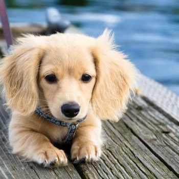 Blonde Dachshund Puppies