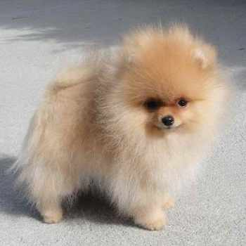 Blonde Pomeranian Puppies For Sale