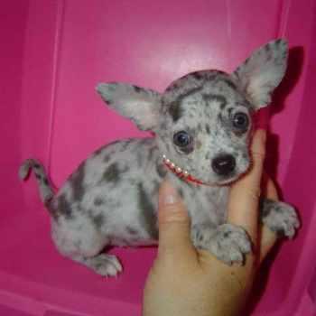 Blue Apple Head Chihuahua For Sale