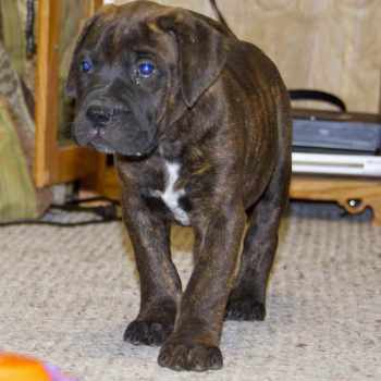 Blue Bull Mastiff Puppies