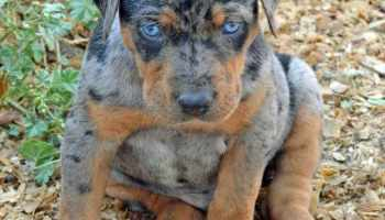 Blue Leopard Catahoula Puppies For Sale Pets And Dogs
