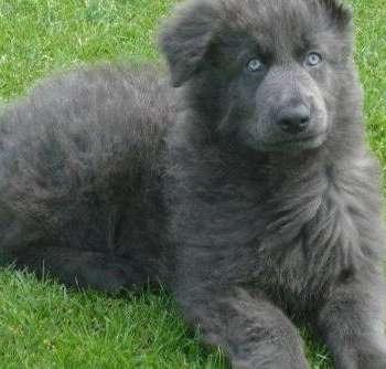 Blue German Shepherd Cost