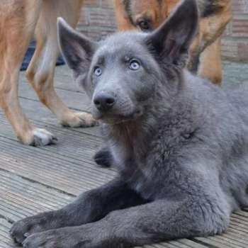 Blue German Shepherd For Sale