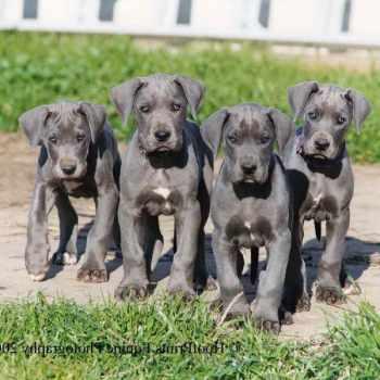 Blue Great Dane Puppies California