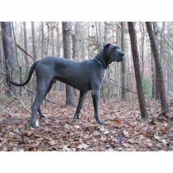 Blue Great Dane Puppies For Sale In Sc