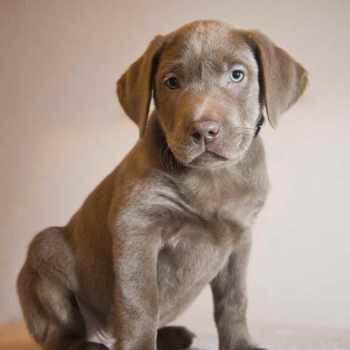 Blue Labrador Puppy