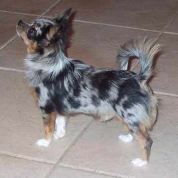 Blue Merle Long Haired Chihuahua Puppies For Sale