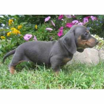 Blue Miniature Dachshund For Sale