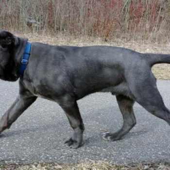 Blue Neapolitan Mastiff For Sale